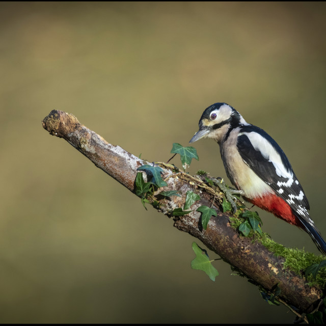 """""""Great spotted woodpecker."""" stock image"""