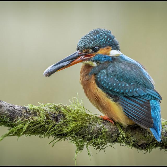 """Kingfisher."" stock image"
