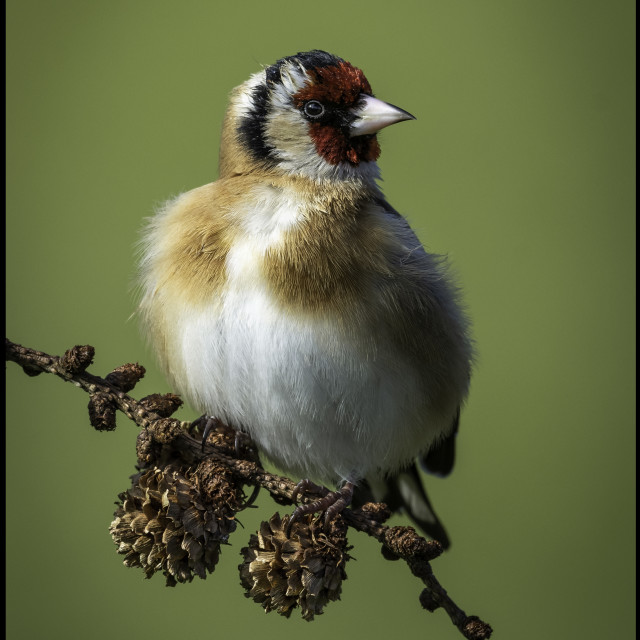 """""""Goldfinch."""" stock image"""