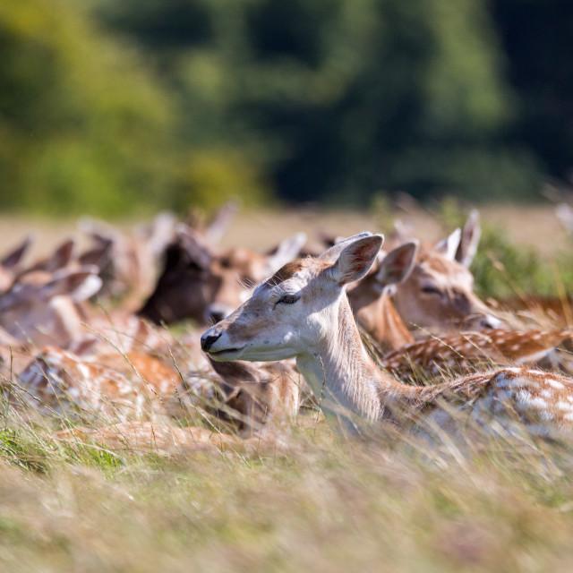 """Fallow Deer Herd"" stock image"
