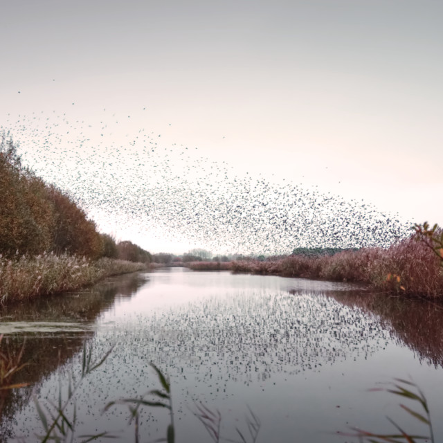"""Starlings Murmuration"" stock image"