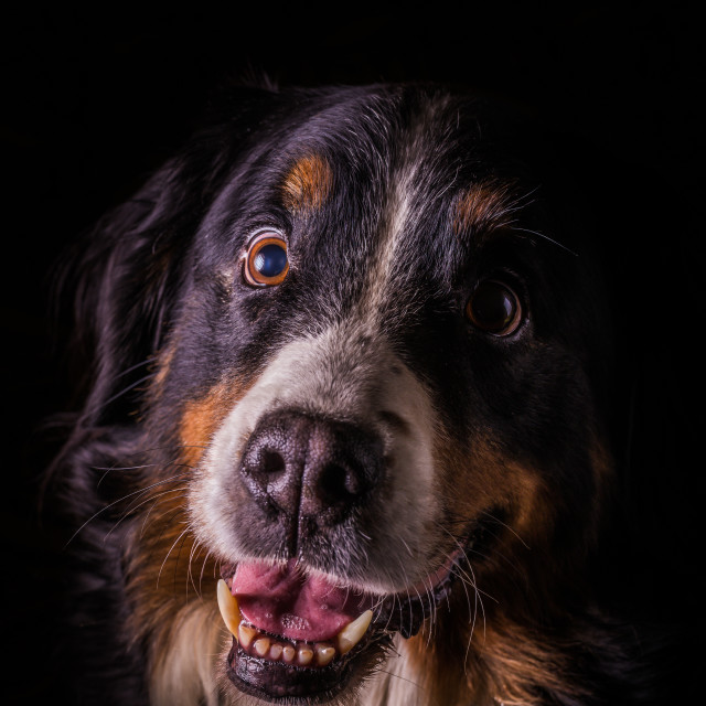 """Adult portrait of Bernese Mountain Dog with black background"" stock image"