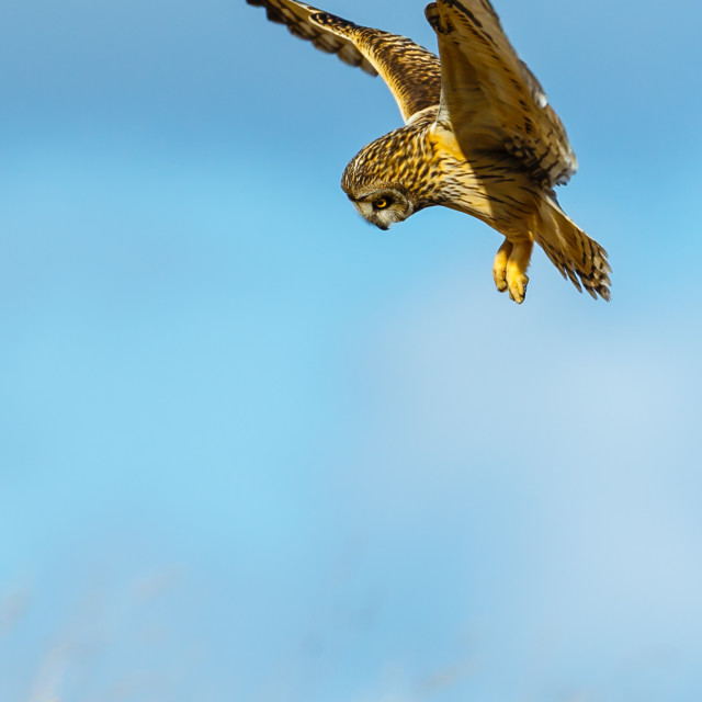 """Hunting short eared owl"" stock image"