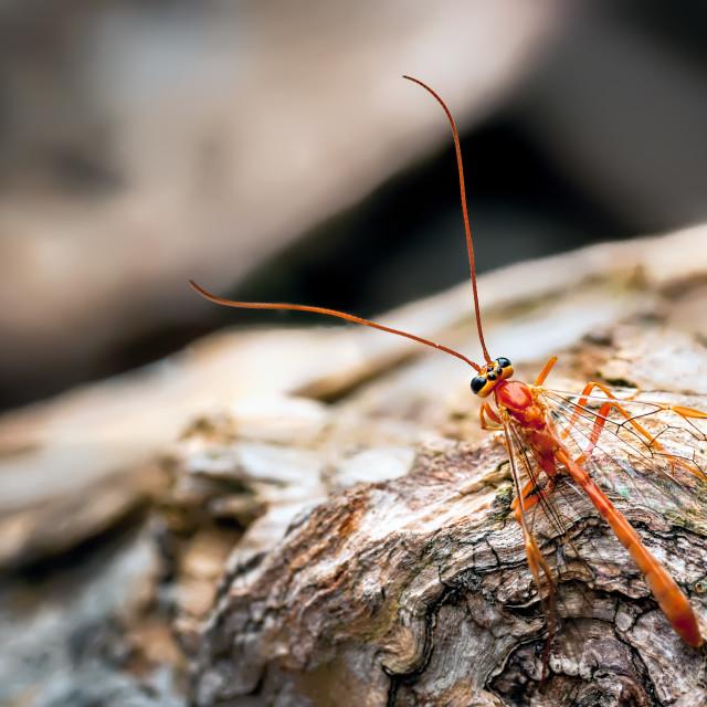 """A large orange coloured parasitic, Ichneumon Wasp (Ophion luteus"" stock image"