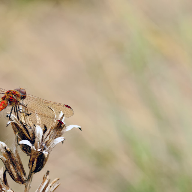"""""""Male Common Darter Dragonfly (Sympetrum striolatum) resting on s"""" stock image"""