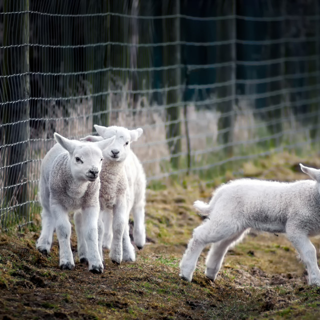 """""""Lambs at Play, Watched by a Mother"""" stock image"""