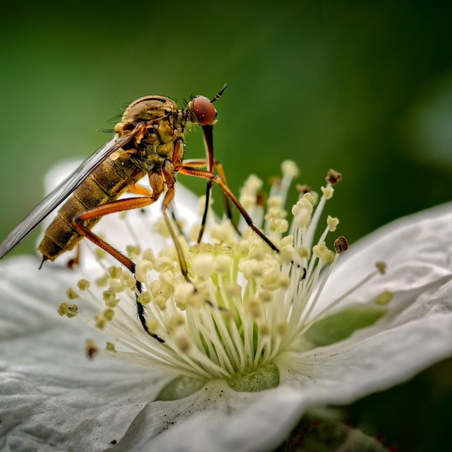 """Dagger Fly feeding on Dewberry Flower."" stock image"