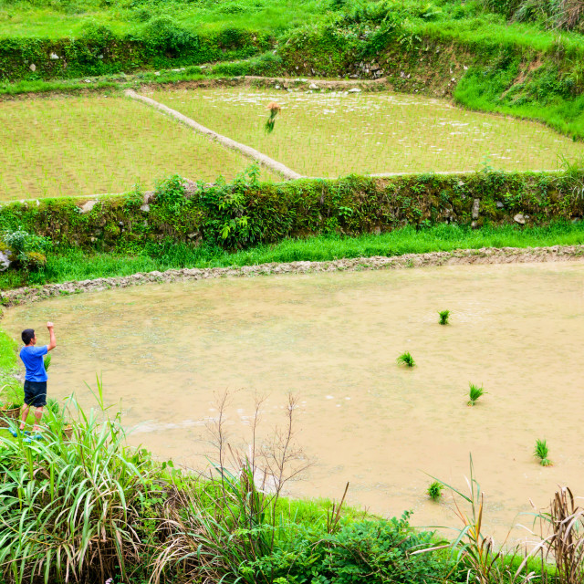 """""""Farmer throwing young rice plant to spread it in the terraced rice field near Guiling in Guangxi province of China"""" stock image"""