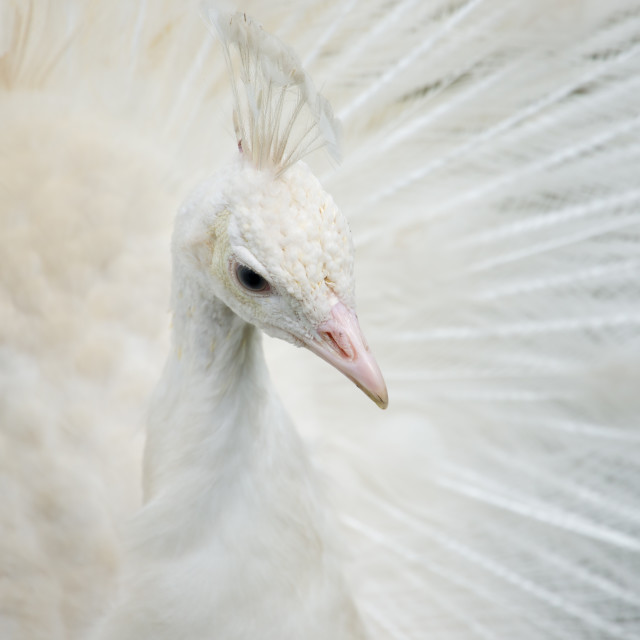 """Portrait of a white peacock"" stock image"