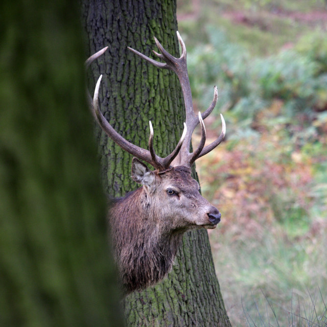 """Red Deer Stag (Cervus Elaphus) in a Woodland Environment UK"" stock image"