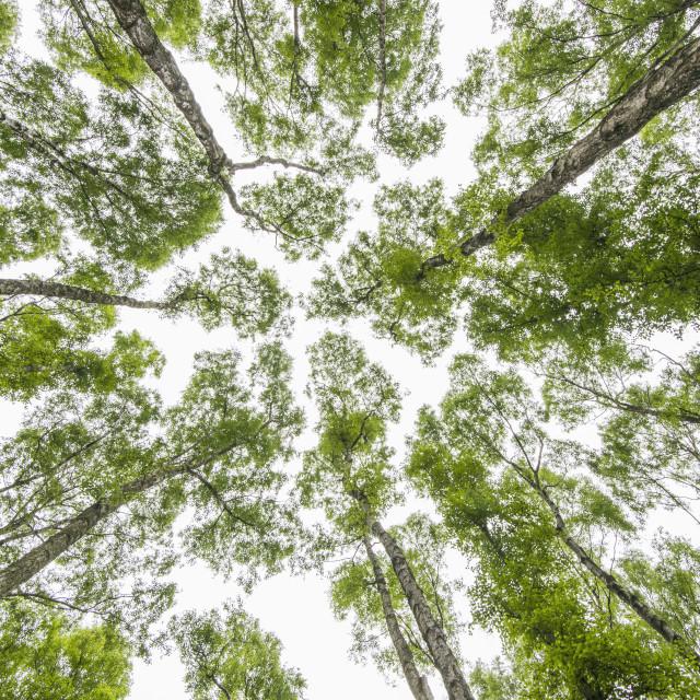 """Silver birches"" stock image"
