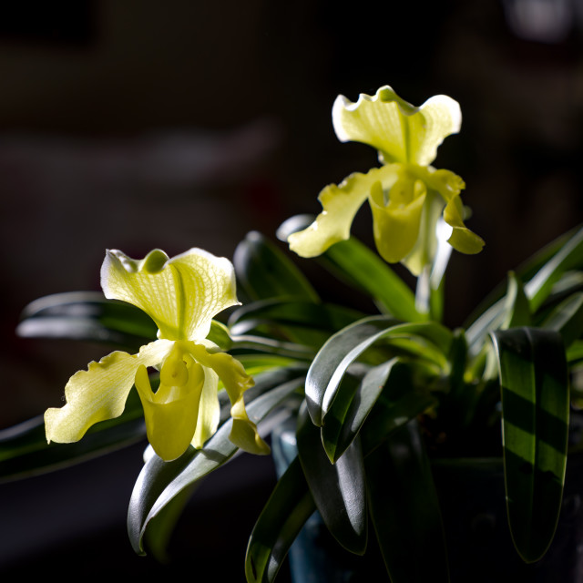 """""""Venus slipper flower orchids or Orchids paphiopedilum on the black background"""" stock image"""
