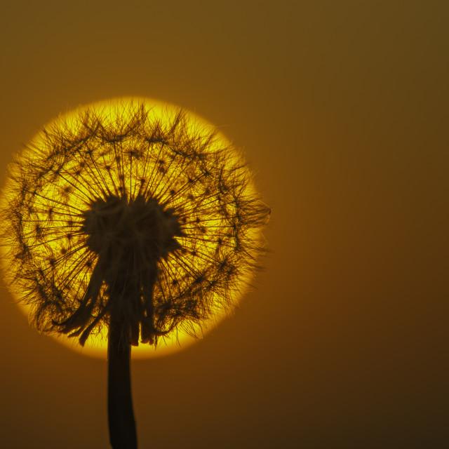 """Dandilion Sunset"" stock image"