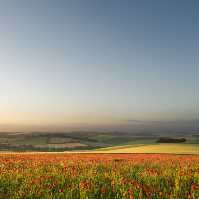 """Sussex Poppies"" stock image"
