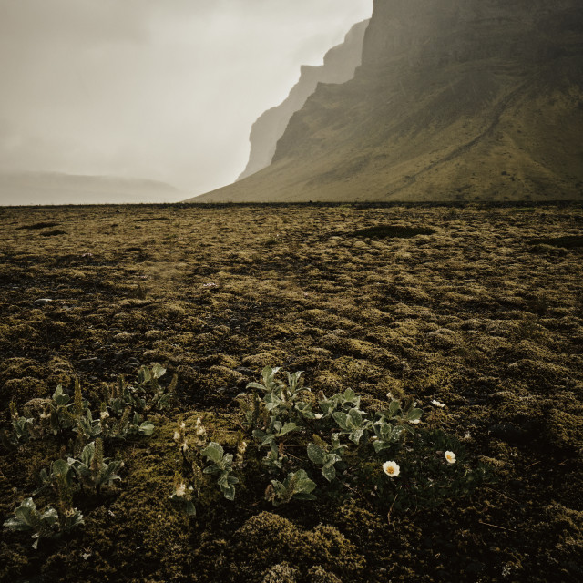 """""""The moss covered landscape of Iceland."""" stock image"""