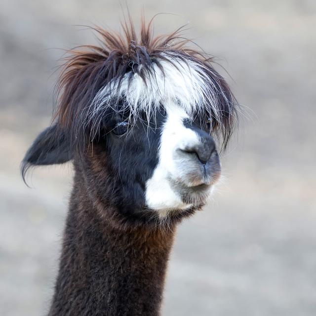 """Brown Alpaca, a portrait"" stock image"