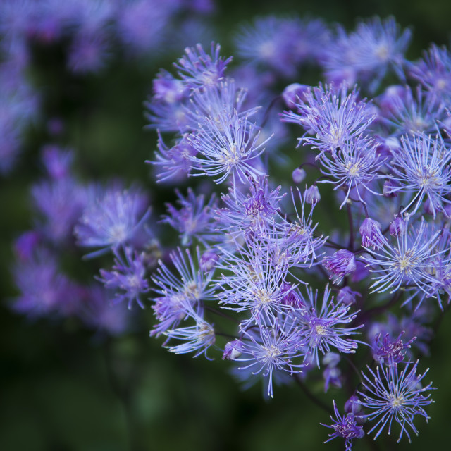"""""""Greater Meadow Rue"""" stock image"""