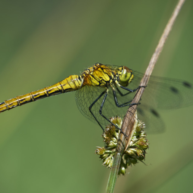 """""""Female of Spotted Darter"""" stock image"""