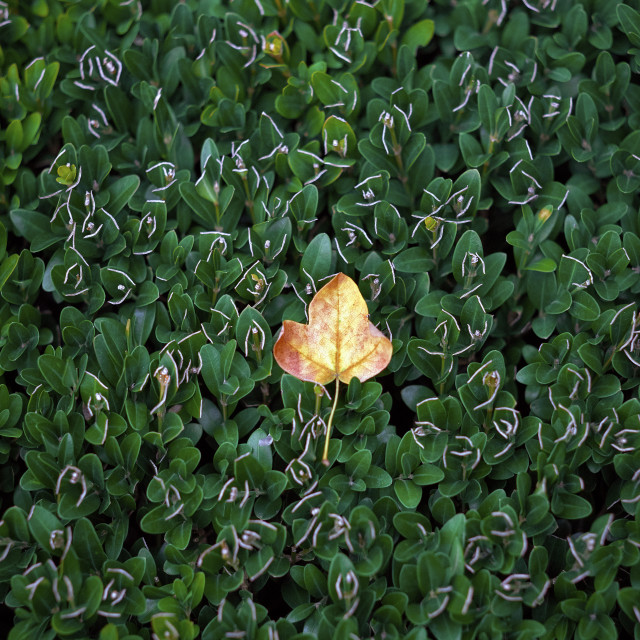 """""""A single golden fallen leaf on a bed of cut green Box hedge"""" stock image"""