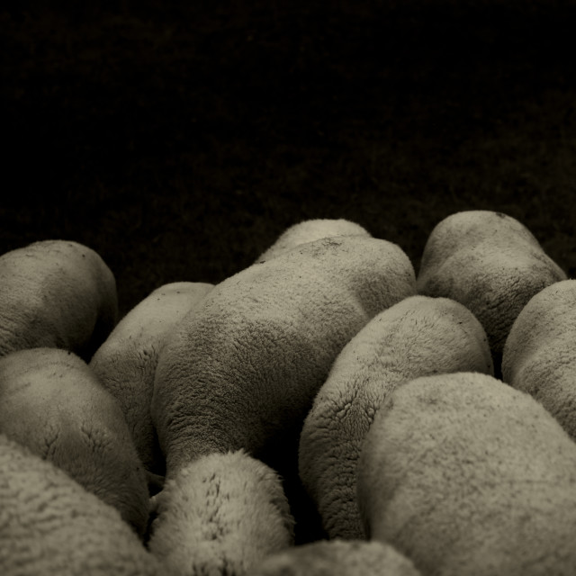 """""""Pile Bodies - A flock of sheep grazing"""" stock image"""