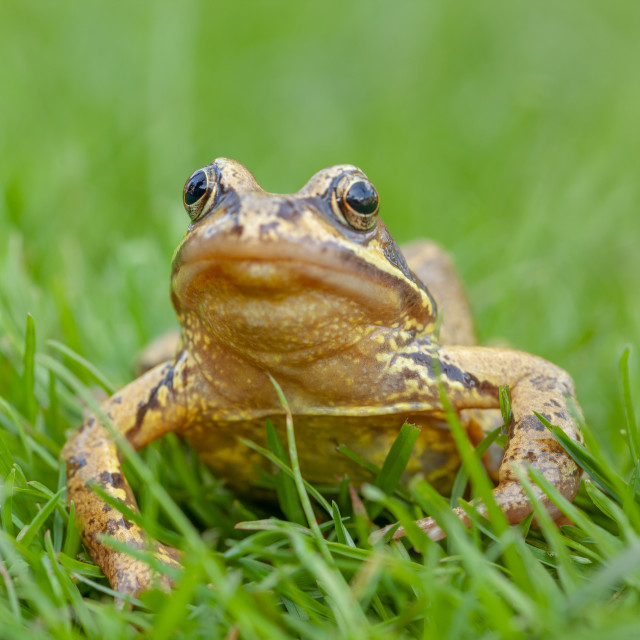 """A Common Frog sat on the grass"" stock image"