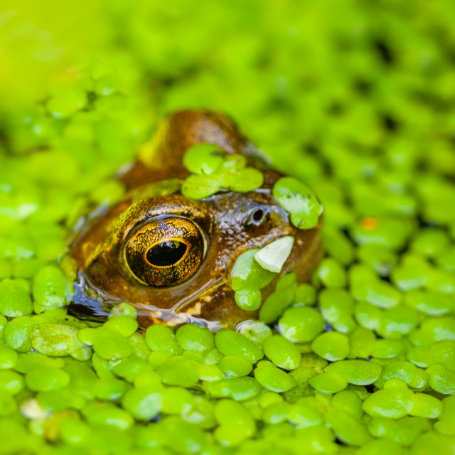 """A Common Frog peering out of the Duckweed"" stock image"