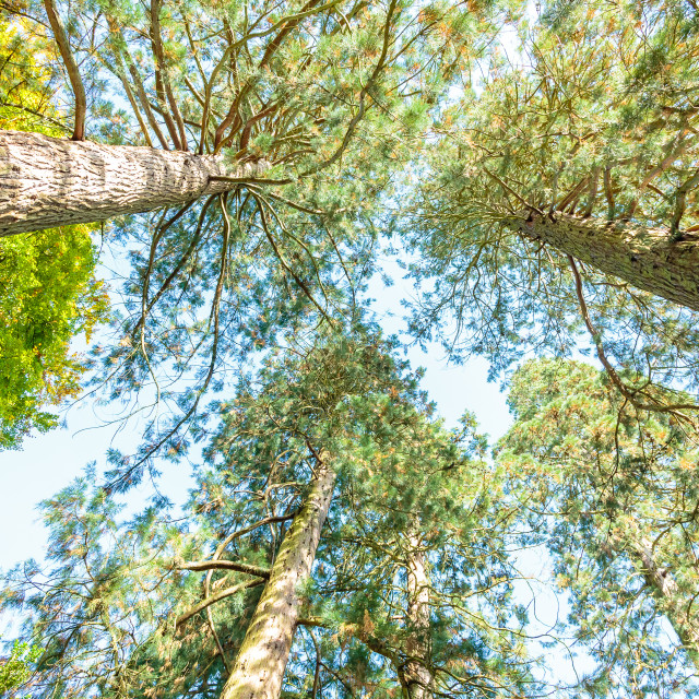 """Look up Trees"" stock image"