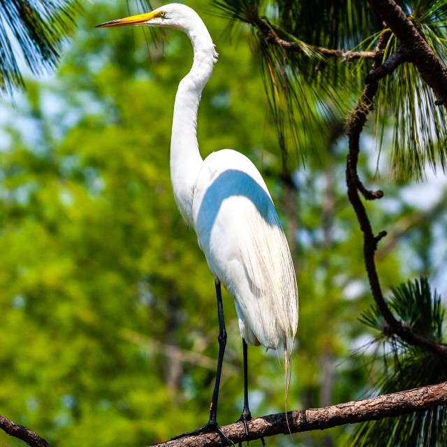 """Great White Egret sat in a tree - Ardea alba"" stock image"