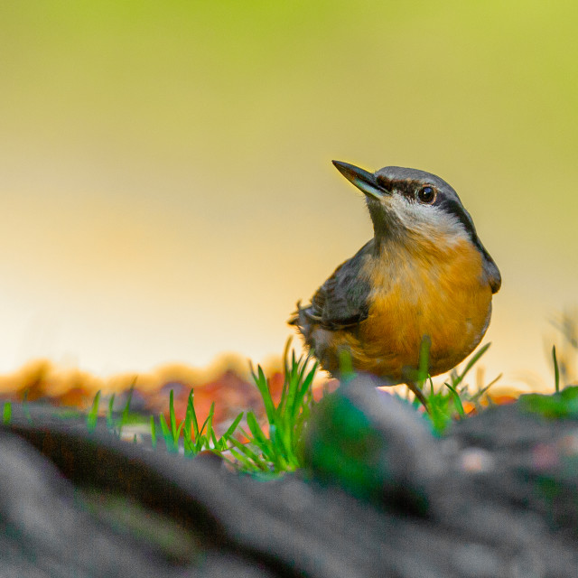 """Nuthatch Sitta europaea"" stock image"