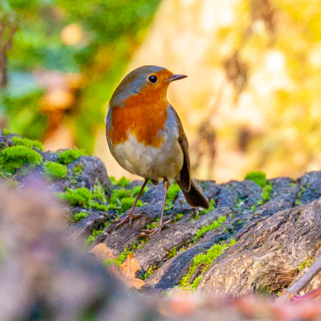 """Robin the UK's favourite bird"" stock image"