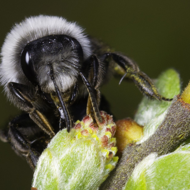 """Ashy Mining Bee"" stock image"