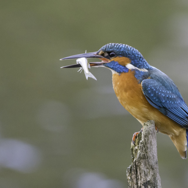 """""""Kingfisher with Fish"""" stock image"""