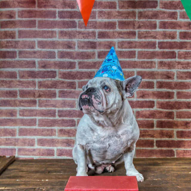 """Portrait of French bulldog on his birthday."" stock image"