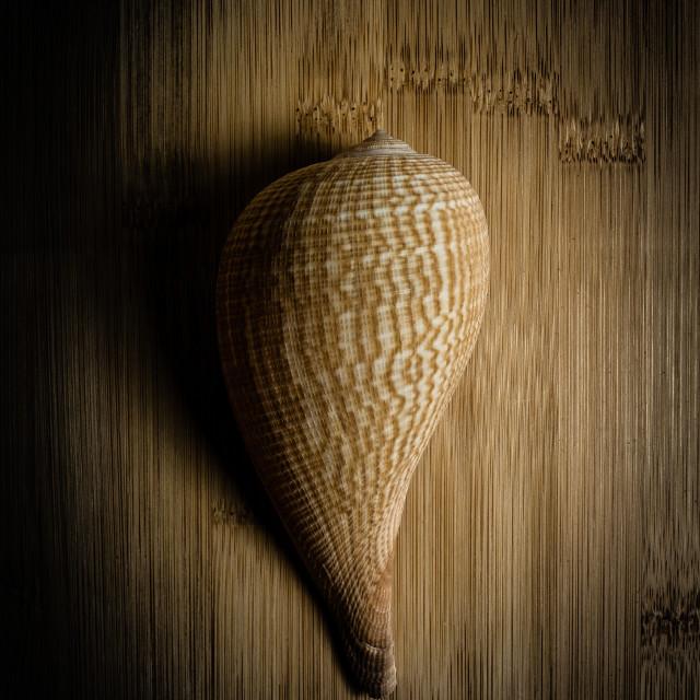 """""""seashell on wood"""" stock image"""