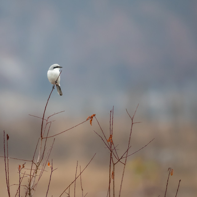 """Great grey shrike - Lanius excubitor"" stock image"
