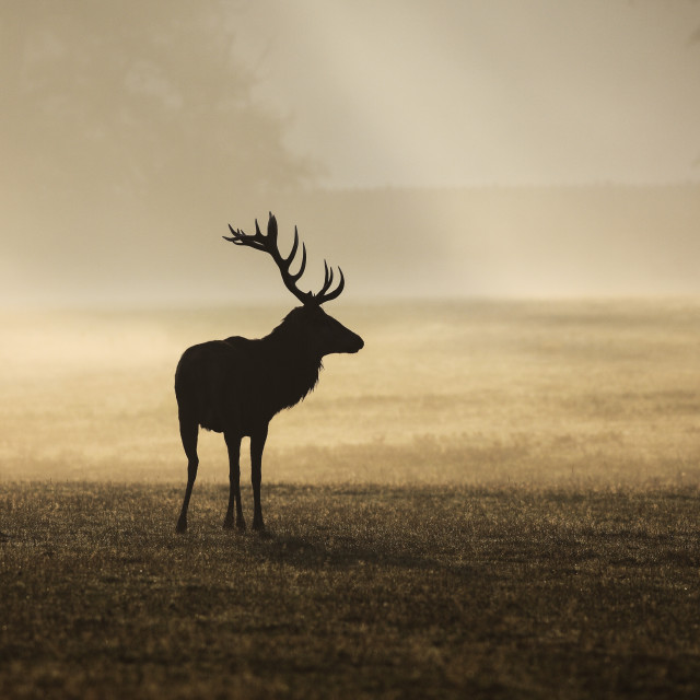 """Red Deer Stag (Cervus elaphus) Surrounded by Mist at Sunrise, En"" stock image"