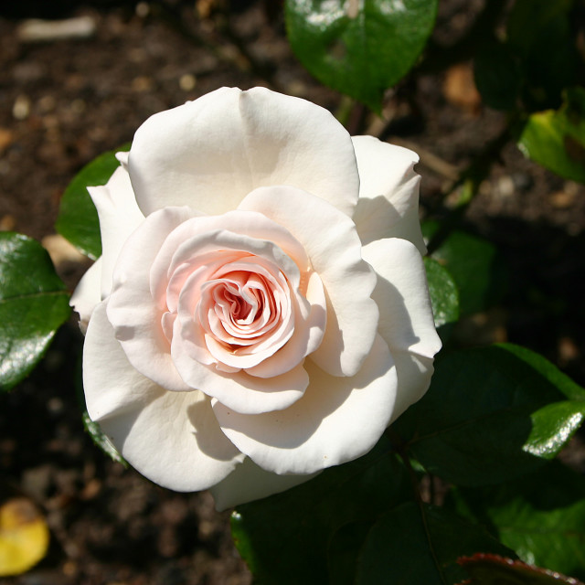 """The Soham Rose"" stock image"