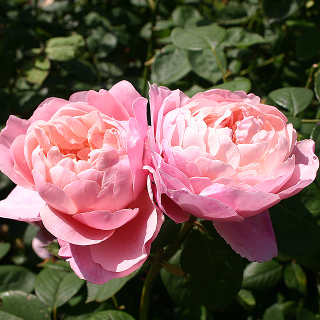 """The Alnwick Rose"" stock image"