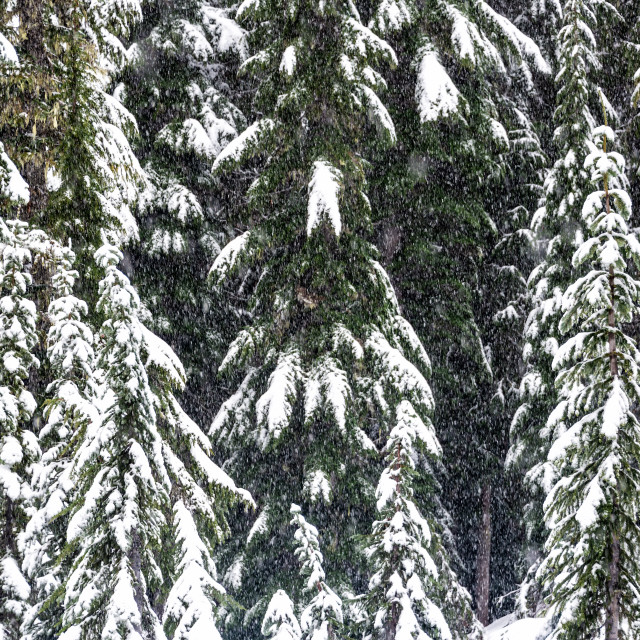 """""""Snow Covered Pine Trees"""" stock image"""