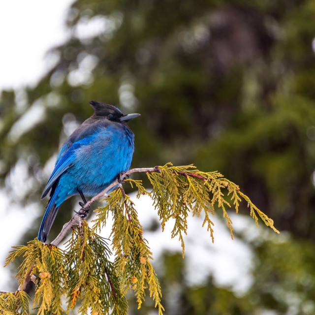 """Stellar's Jay on a Tree"" stock image"