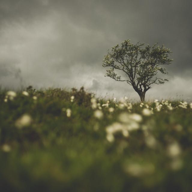 """Hawthorn Blossom & Cotton Grass"" stock image"