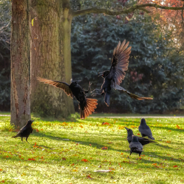 """Crow Fight"" stock image"