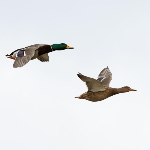 """Male and female Mallard ducks in flight"" stock image"