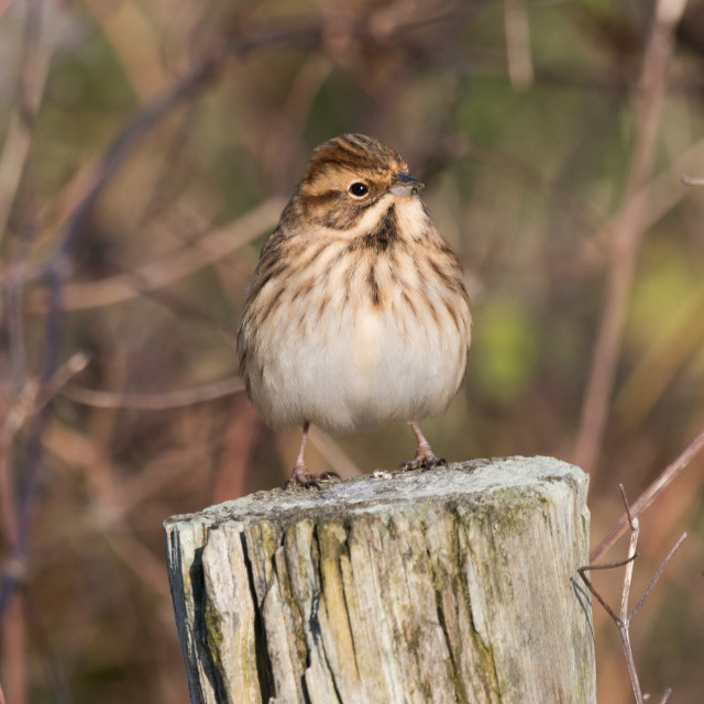 """Female Reed Bunting (Emberiza schoenicius)"" stock image"