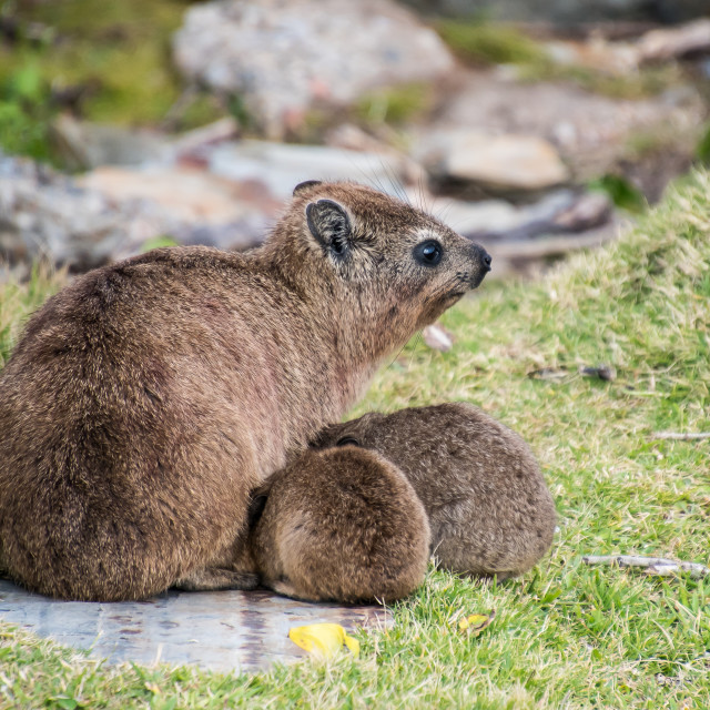 """cape town rock hyrax"" stock image"