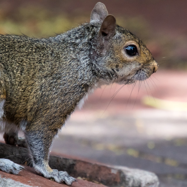"""squirrel cape town"" stock image"
