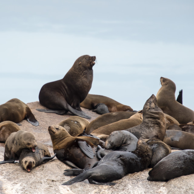 """Hout Bay Seal Paradise"" stock image"