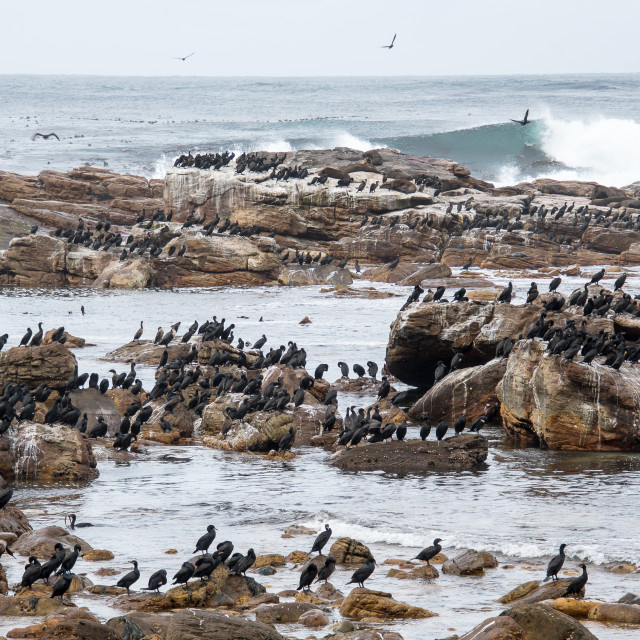"""Cormorans at Cape of Good Hope"" stock image"