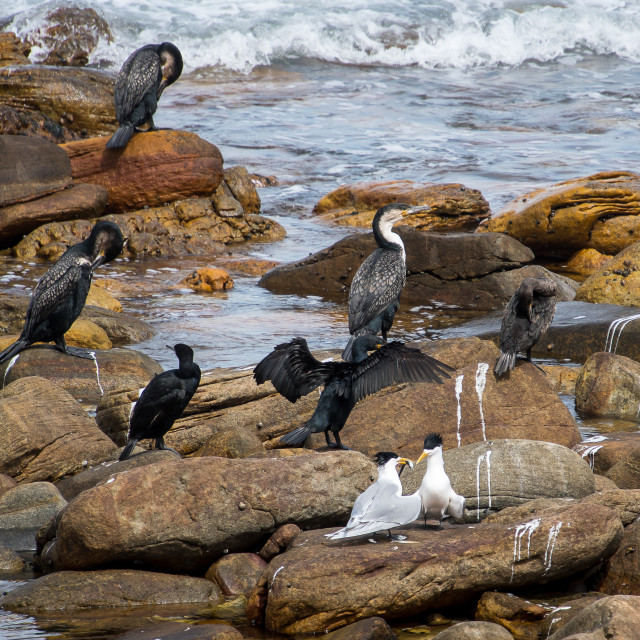 """Cormorans and Greater crested terns"" stock image"