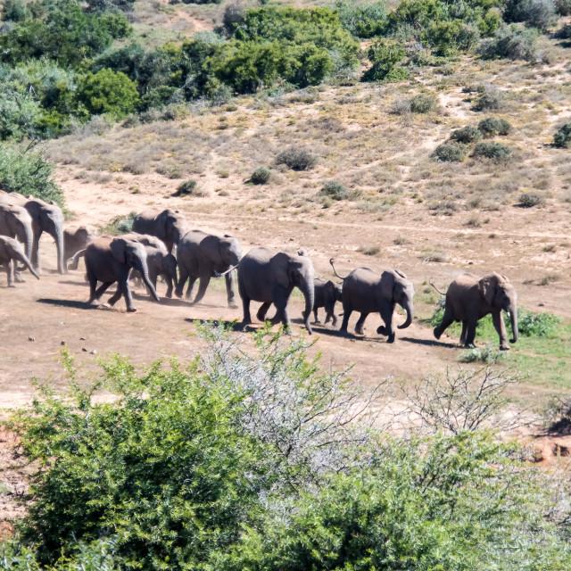 """""""elephants hurry to water"""" stock image"""